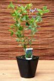 Baptysja błękitna (łac. Baptisia australis)