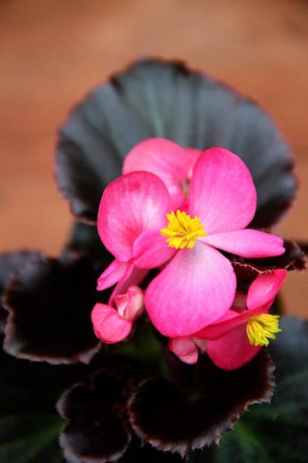 Begonia stale kwitnąca (Begonia semperflorens)