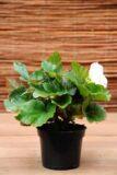 Begonia bulwiasta (Begonia x tuberhybrida)