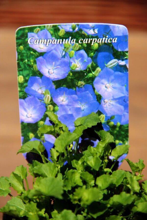 Dzwonek karpacki Pearl Blue Campanula carpatica