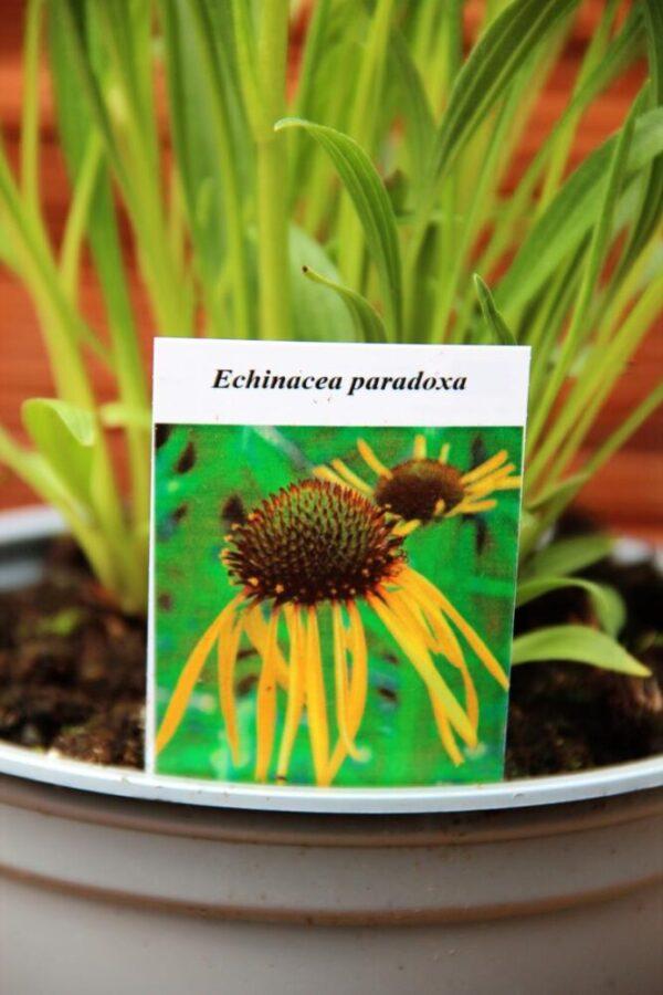 Jeżówka żółta Echinacea paradoxa