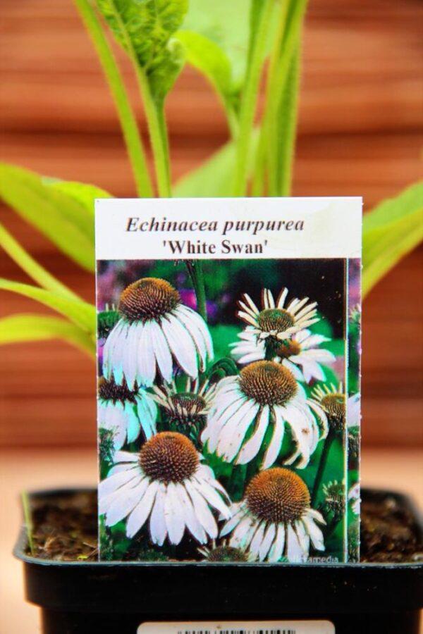Echinacea purpurea 'White Swan', jeżówka purpurowa 'White Swan'