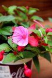 Fuksja (ułanka) łac. Fuchsia
