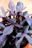 Wilec (łac. Ipomoea batatas)
