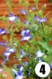 Lobelia przylądkowa (łac. Lobelia erinus)