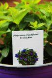Platycodon grandiflorus 'Twinkle Blue'