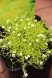 Karmnik ościsty (Sagina subulata) Lime Moss