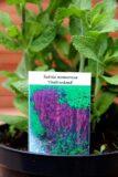 Salvia nemorosa 'Ostfriesland', szałwia omszona 'Ostfriesland'