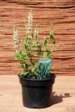 Szałwia omszona 'Adrian' (łac. Salvia nemorosa 'Adrian')