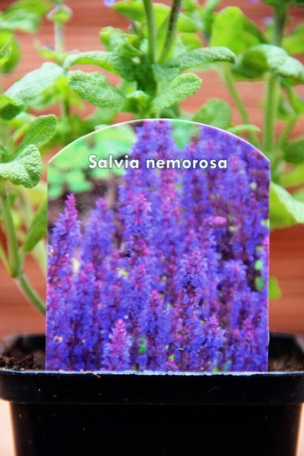 WyniSzałwia omszona (Salvia nemorosa Blaukonigin)