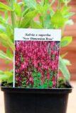 Szałwia wspaniała (Salvia x superba New Dimension Rose)