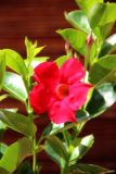 Dipladenia 'Sundaville' (łac. Mandewila sanderii)