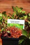Rozchodnik kaukaski (Sedum spurium Purpur Winter)