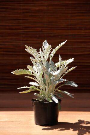 Starzec popielny (łac. Senecio cineraria)