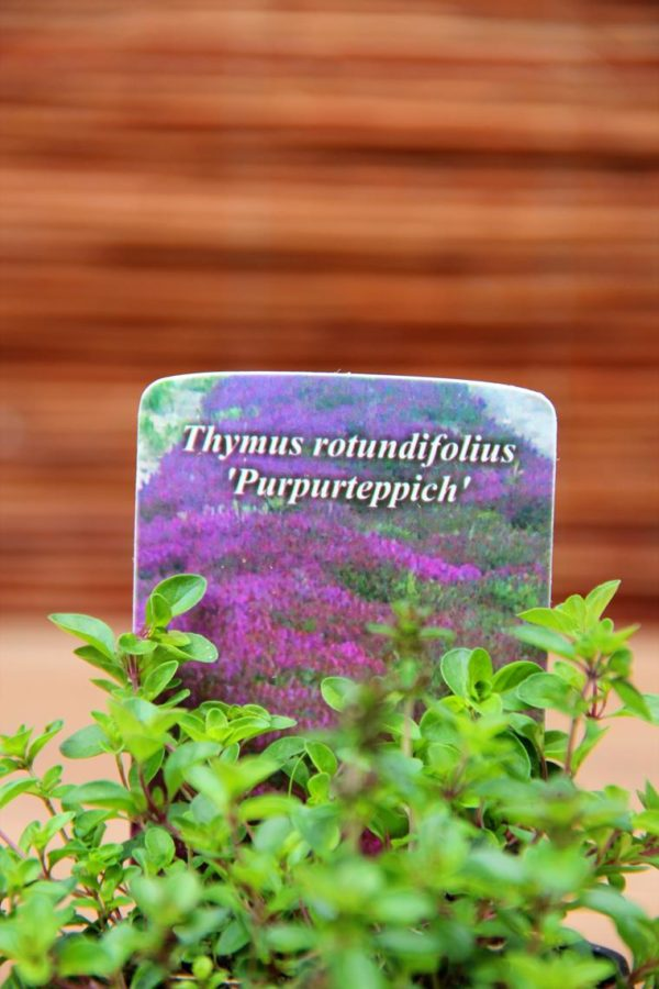 Macierzanka (Thymus rotundifolius Purpurteppich)