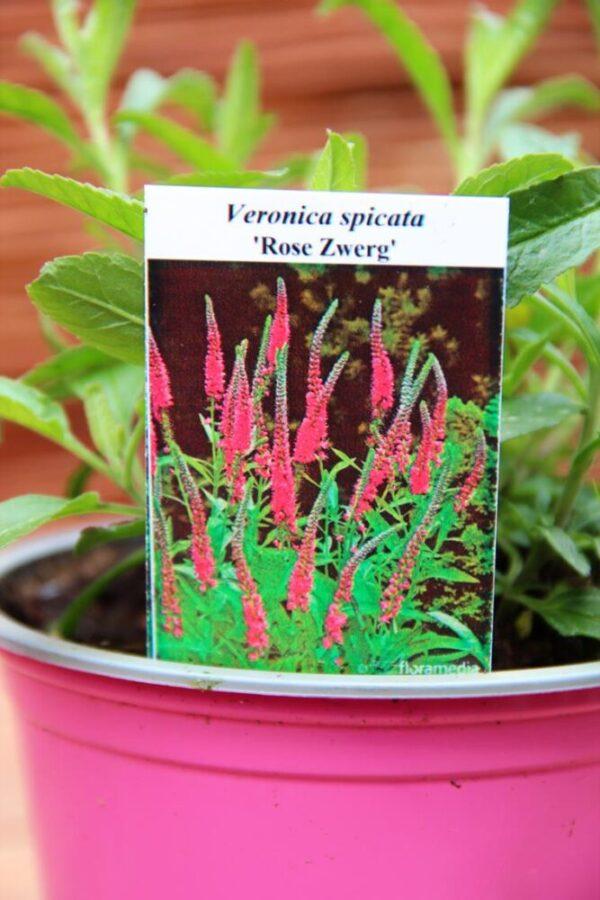 """Przetacznik kłosowy 'Rose Zwerg"""" Veronica spicata"""