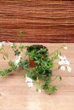 Pelargonium peltatum Pelargonia bluszczolistna