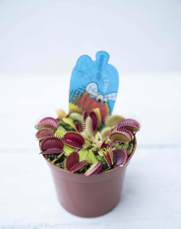 040-01321 Muchołówka (łac. Dionaea muscipula)