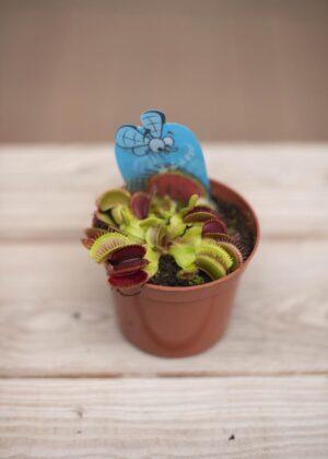 040-01321 Dionaea muscipila P508