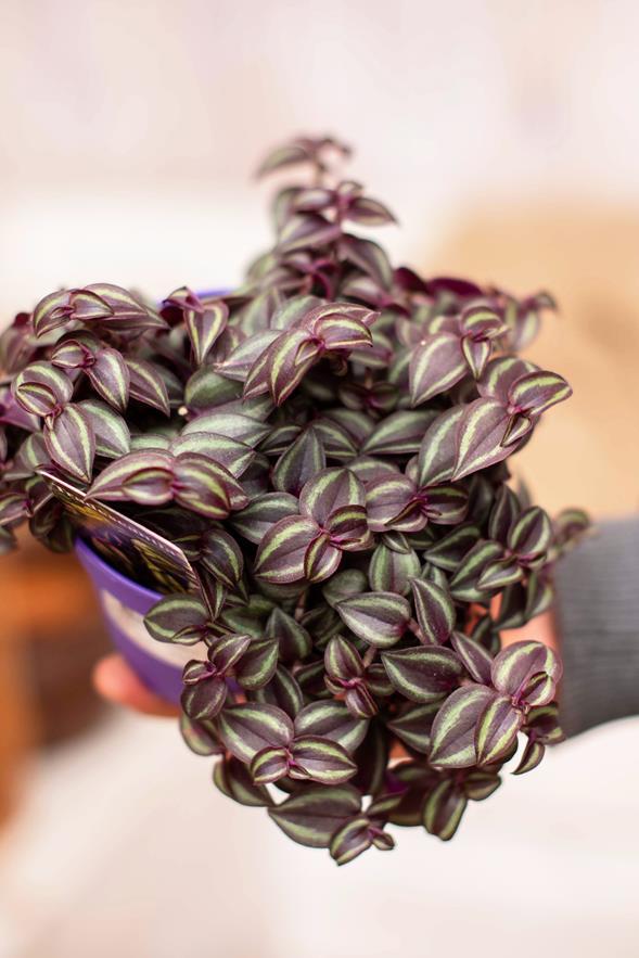 040-03043 Tradescantia purple passion P12