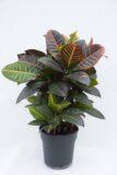 040-04610 Kroton 'Petra' (łac. Codiaeum variegatum 'Petra')(1)