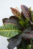 040-04610 Kroton 'Petra' (łac. Codiaeum variegatum 'Petra')(2)