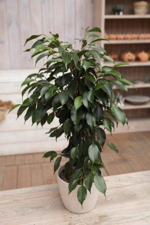 040-04621 Ficus benj. danielle