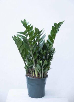 040-04653 Zamiokulkas zamiolistny (łac. Zamioculcas zamiifolia)