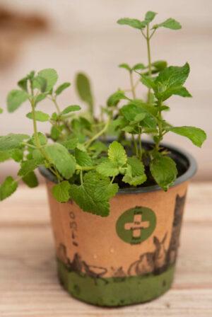 040-04664 Nepeta petplant P12 H30 (2)