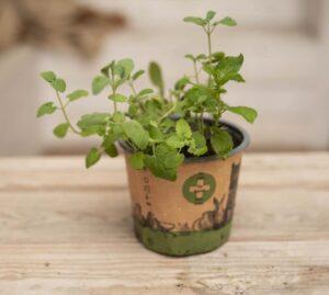040-04664 Nepeta petplant P12 H30
