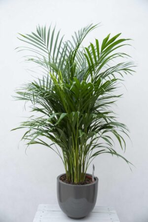 Palma Areka (łac. Dypsis Lutescens 'Areca')