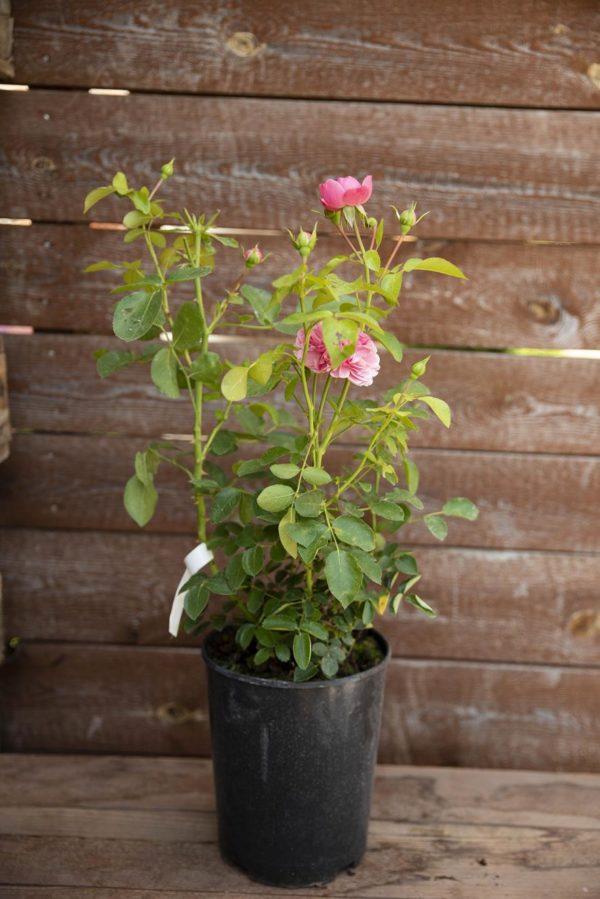 710-22576 Rosa 'Leonardo Da Vinci'