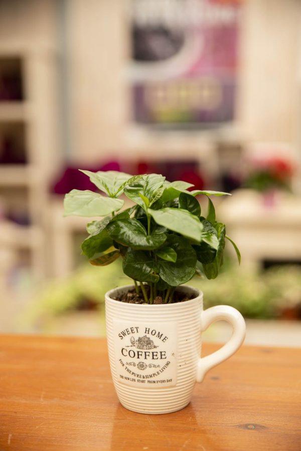 COFFEA ARABICA 040-04489
