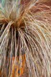 Carex flagellifera Bronzita - Turzyca biczykowata