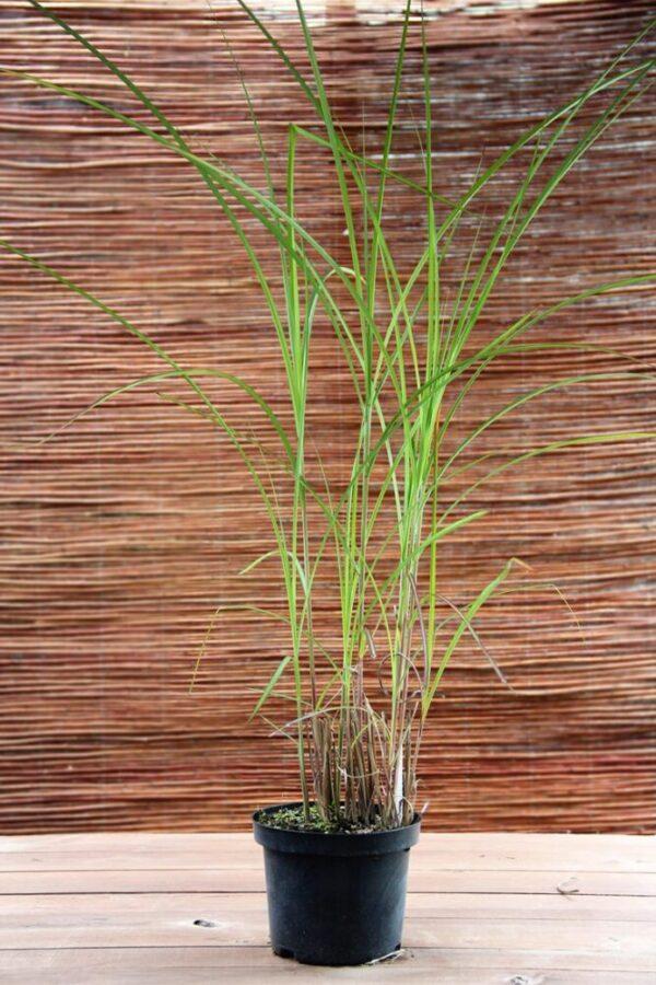 Miskant chiński 'Ferner Osten' (łac. Miscanthus sinensis 'Ferner Osten')