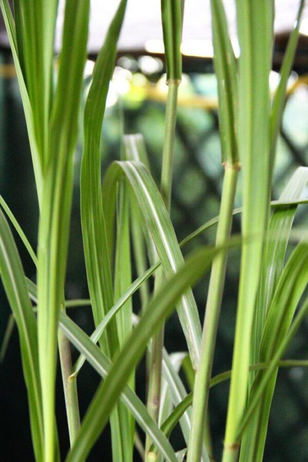 Miskant olbrzymi (łac. Miscanthus × giganteus)