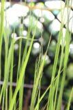 Trzęślica trzcinowata 'Cordoba' (łac. Molinia arundinacea 'Cordoba')