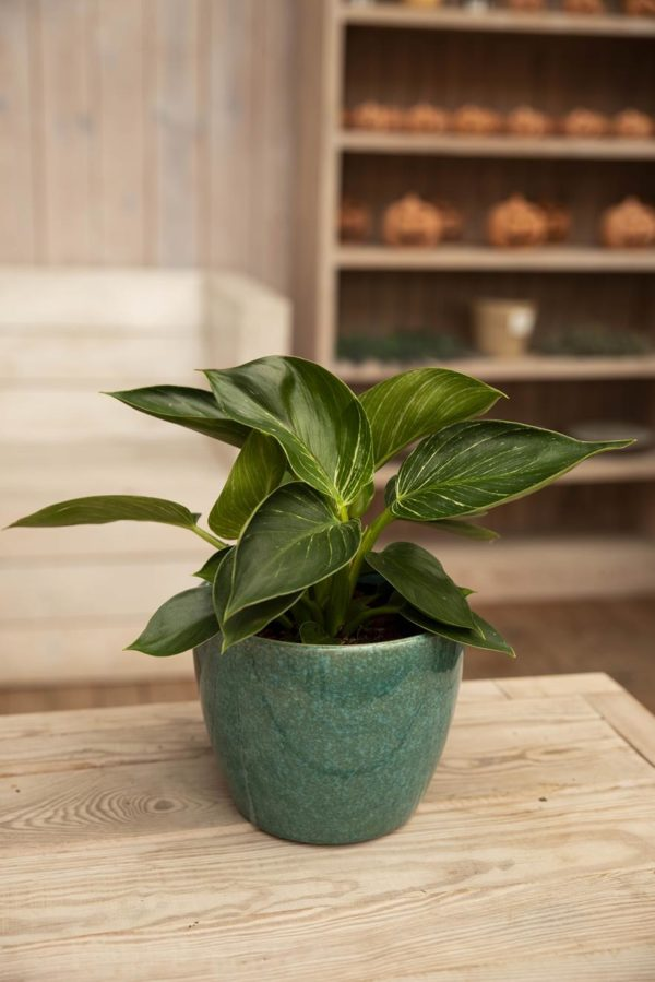 PHILODENDRON WHITE WAVE 040-00014