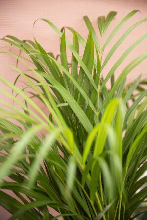 Palma Areka (Dypsis Lutescens 'Areca')