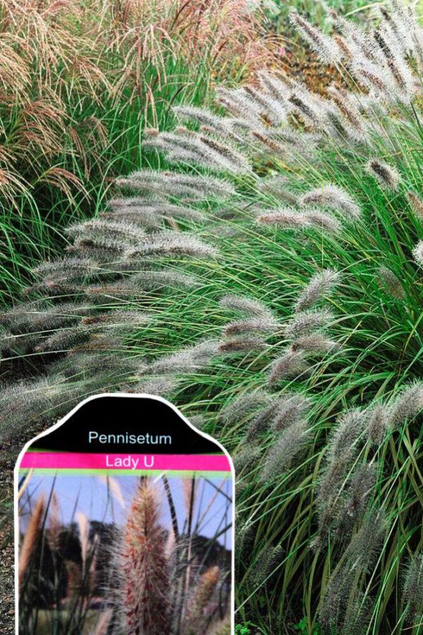 Pennisetum Alopecuroides 'Lady U'