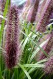 Pennisetum alopecuroides Rozplenica japońska Black Beauty