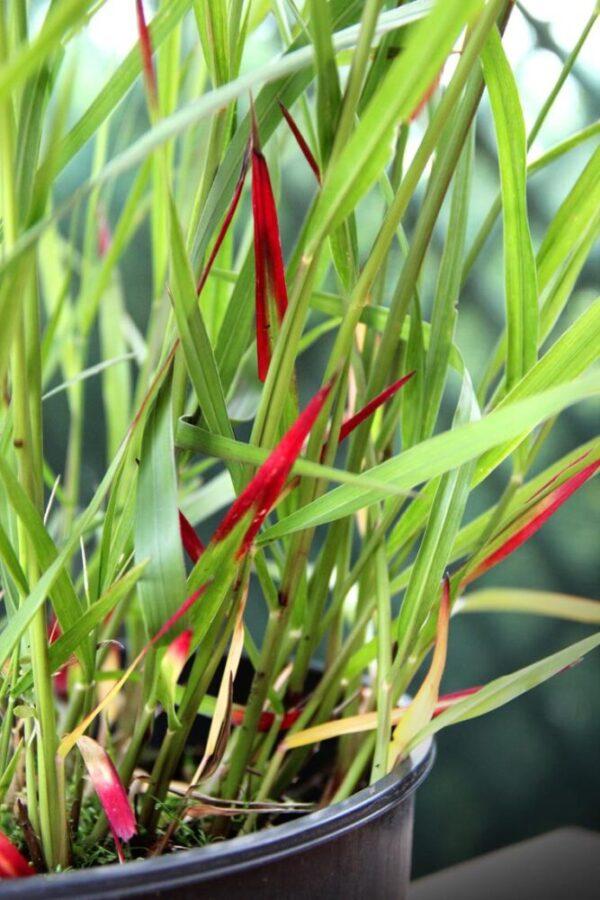 Proso rózgowate 'Squaw' (łac. Panicum virgatum 'Squaw')