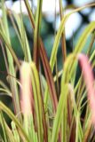 Rozplenica gg (łac. Pennisetum)