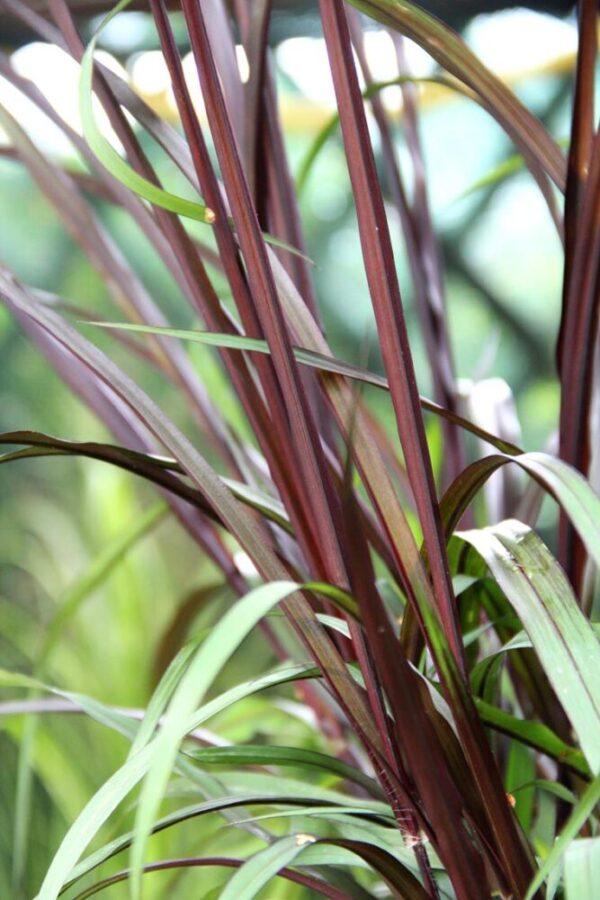 Rozplenica słoniowa 'Vertigo' (łac. Pennisetum purpureum 'Vertigo')