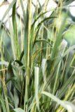 Trzęślica modra 'Maculata' (łac. Molinia caerulea 'Maculata')