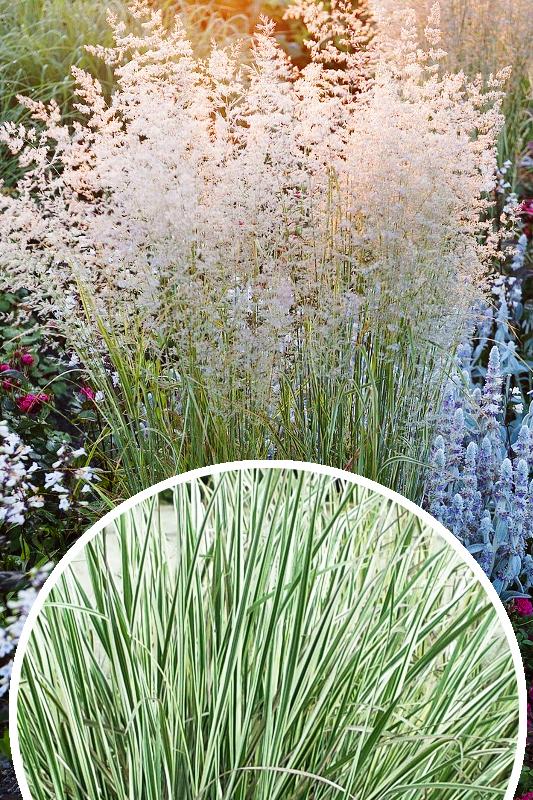 Trzcinnik ostrokwiatowy 'Overdam' (łac. Calamagrostis × acutiflora 'Overdam')