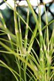 miscanthus sinensis miskant chiński 'Strictus' C2