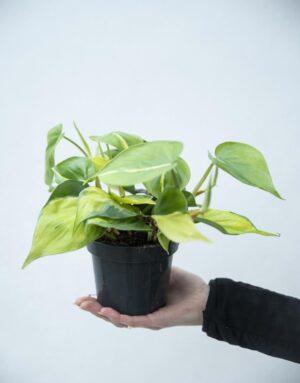 040-02918 Filodendron pnący 'Brasil' (Philodendron scandens 'Brasil')
