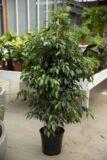 040-04620 Ficus benjamina Danielle