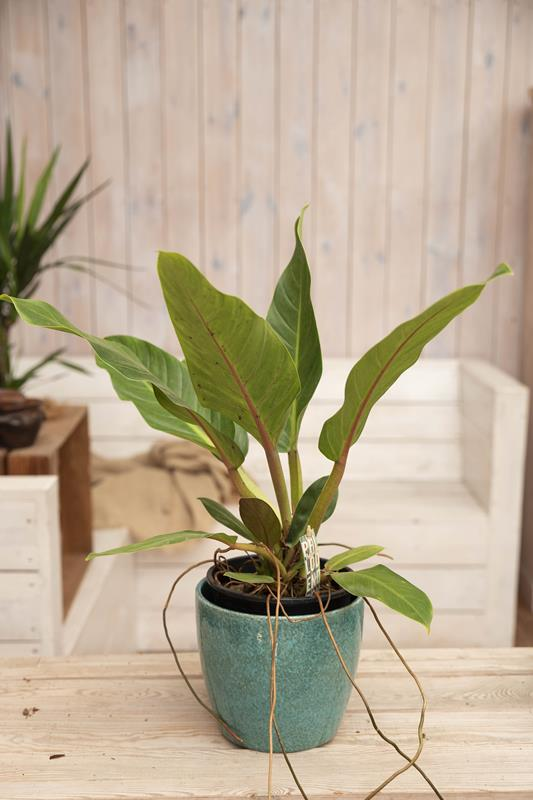 040-04714 PHILODENDRON FATBOY YELLOW H55 P19